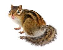 在白色的花栗鼠 免版税库存照片