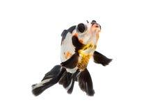 在白色的花梢金鱼孤立 免版税图库摄影