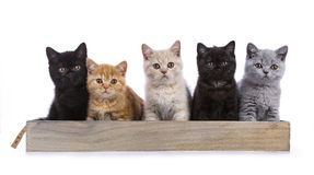 在白色的英国shorthair小猫 免版税库存图片