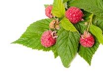 在白色的莓 免版税库存照片