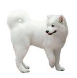 在白色的萨莫耶特人狗 免版税库存照片