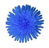 在白色的蓝色圆的花隔绝了与裁减路线的背景 特写镜头 没有影子 对设计 免版税库存图片