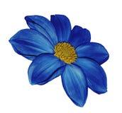 在白色的蓝色花大丽花隔绝了与裁减路线的背景 没有影子 特写镜头 库存图片