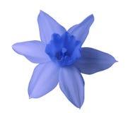 在白色的蓝色黄水仙花隔绝了与裁减路线的背景 没有影子 特写镜头 库存图片