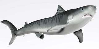 在白色的虎鲨 库存照片