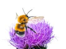 在白色的蜂授粉的三叶草花 免版税库存照片