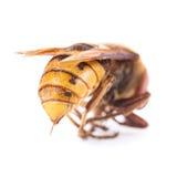 在白色的蜂 免版税图库摄影