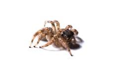 在白色的蜘蛛 库存图片