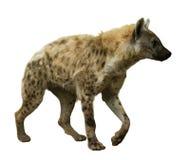 在白色的被察觉的鬣狗 库存照片