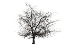 在白色的赤裸树 免版税图库摄影