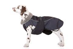 在白色的达尔马希亚小狗 免版税库存照片
