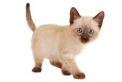 在白色的逗人喜爱的暹罗小猫 库存照片