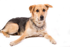在白色的逗人喜爱的狗画象 免版税图库摄影