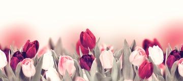 在白色的郁金香五颜六色的花全景边界 库存照片