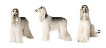在白色的阿富汗猎犬狗 免版税图库摄影