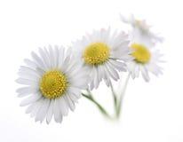 在白色的雏菊 免版税库存照片