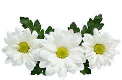在白色的雏菊 免版税图库摄影