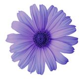 在白色的青紫罗兰色雏菊花隔绝了与裁减路线的背景 为设计,纹理,明信片,封皮开花 关闭 免版税库存图片