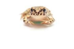 在白色的青蛙 免版税库存照片