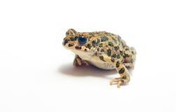 在白色的青蛙 免版税图库摄影