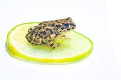 在白色的青蛙 库存图片