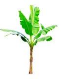 在白色的香蕉树隔离 免版税库存图片