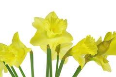 在白色的黄水仙 免版税库存图片