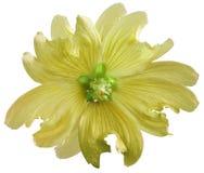 在白色的黄色狂放的冬葵花隔绝了与裁减路线的背景 特写镜头 响铃圣诞节设计要素 库存照片