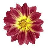 在白色的黑暗的-红色-黄色花雏菊隔绝了与裁减路线的背景 特写镜头 免版税图库摄影