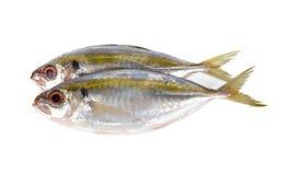 在白色的整个圆的新鲜的黄色条纹大量鱼 库存图片