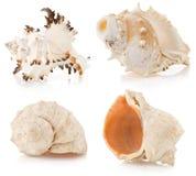 在白色的贝壳 免版税图库摄影