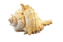 在白色的贝壳 库存图片