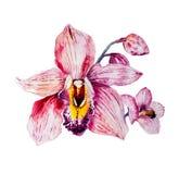 在白色的水彩五颜六色的兰花花 免版税库存照片