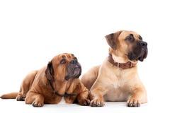 在白色的2条公牛驯犬狗 免版税库存图片