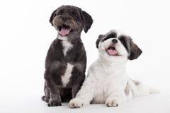在白色的2条shi tzu狗 免版税库存图片