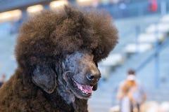 在白色的质朴的巨型长卷毛狗沮丧外形 免版税库存图片