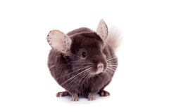 在白色的紫罗兰色硬橡胶黄鼠 免版税库存照片