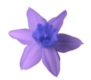 在白色的紫罗兰色蓝色黄水仙花隔绝了与裁减路线的背景 没有影子 特写镜头 免版税库存照片
