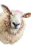 在白色的绵羊 免版税库存图片
