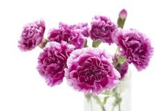 在白色的紫色康乃馨孤立 图库摄影