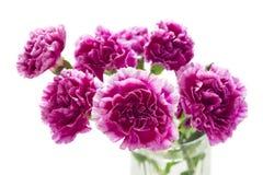 在白色的紫色康乃馨孤立 免版税库存照片