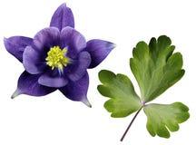 在白色的紫色花和绿色叶子隔绝了与裁减路线的背景 没有影子 特写镜头 免版税库存照片