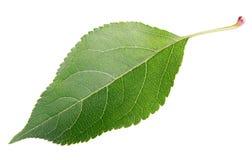 在白色的绿色苹果叶子 免版税库存图片
