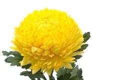 在白色的黄色菊花花 库存图片