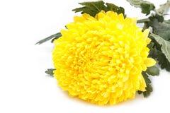 在白色的黄色菊花花 图库摄影