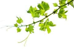 在白色的绿色葡萄分支隔离 库存图片