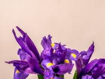 在白色的紫色虹膜与拷贝空间 库存照片