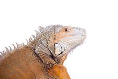 在白色的绿色鬣鳞蜥 免版税图库摄影