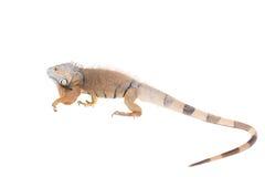 在白色的绿色鬣鳞蜥 免版税库存照片