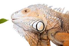 在白色的绿色鬣鳞蜥 免版税库存图片